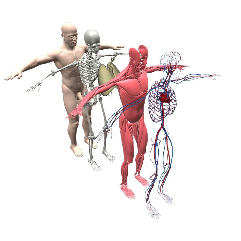 Male Anatomy Contents Human Body Anatomy 3d Model Eonexperience