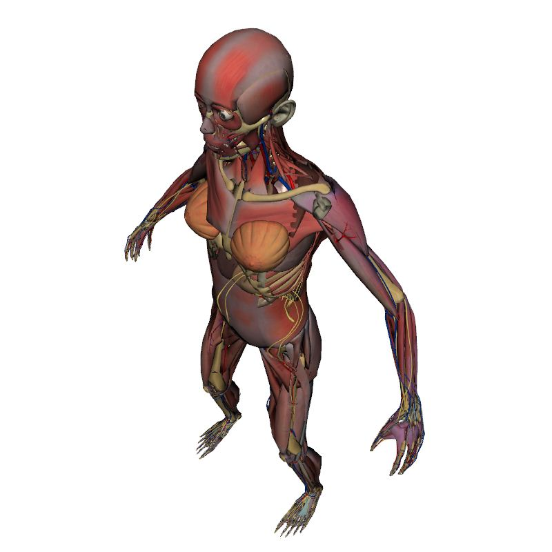 Full Female Anatomy without Skin | Human Body | Anatomy | 3D model ...