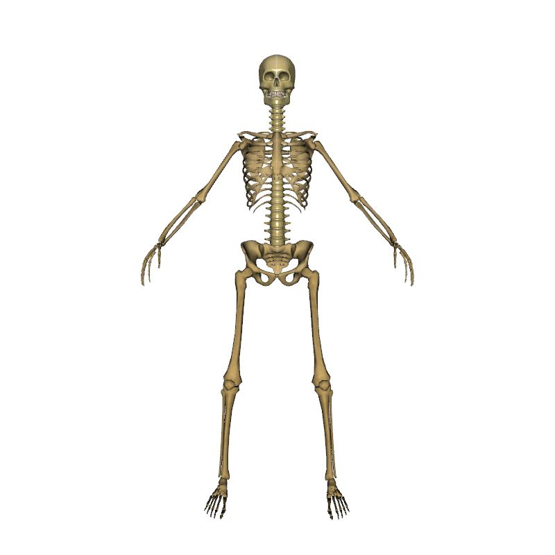 Female Skeleton Human Body Anatomy 3d Model Eonexperience