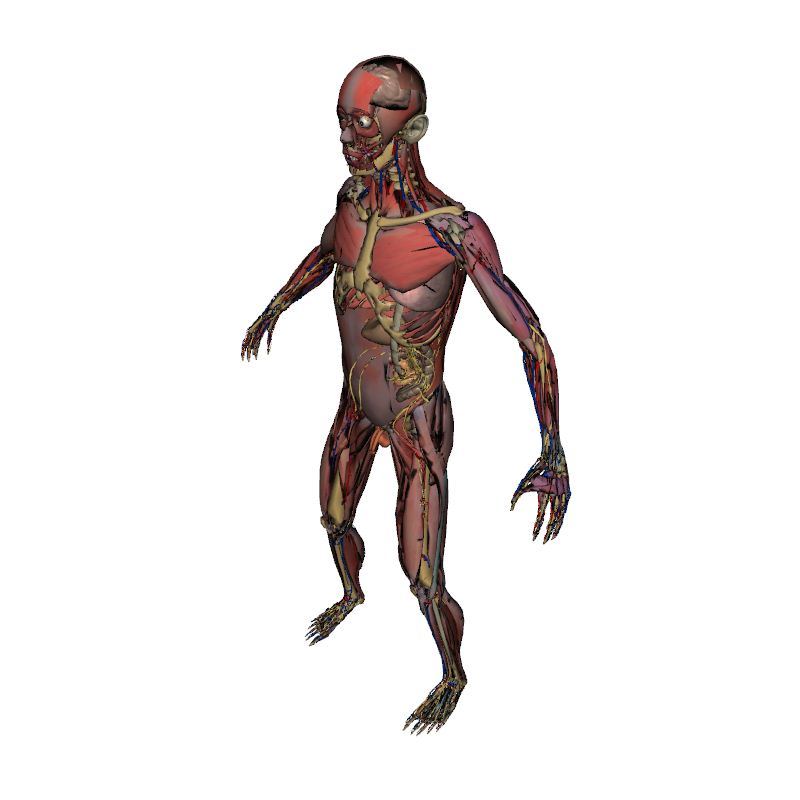 Full Male Anatomy | Human Body | Anatomy | 3D model | eonexperience