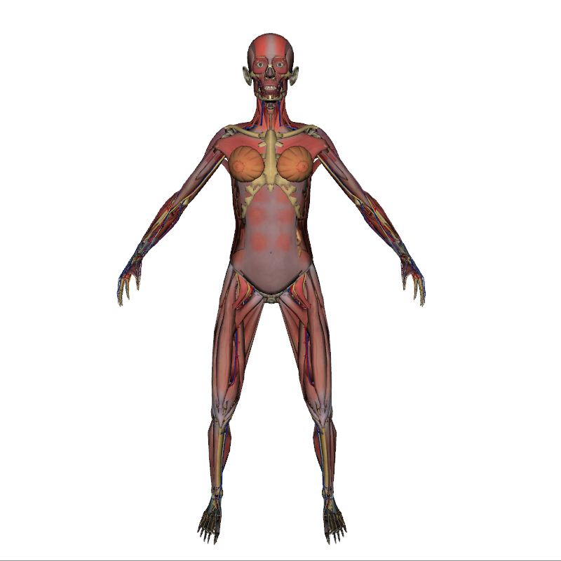 Full Female Anatomy | Human Body | Anatomy | 3D model | eonexperience