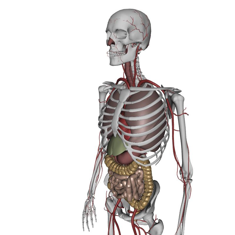 Human Body Anatomy Human Body Anatomy 3d Model Eonexperience