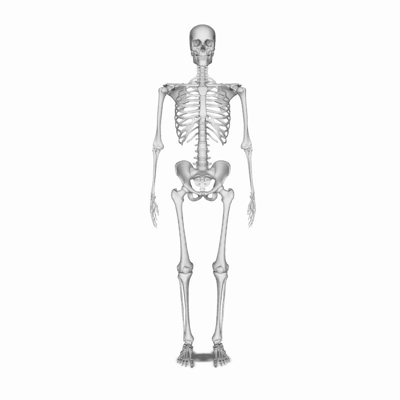 Human Skeleton | Human Body | Anatomy | 3D model | eonexperience