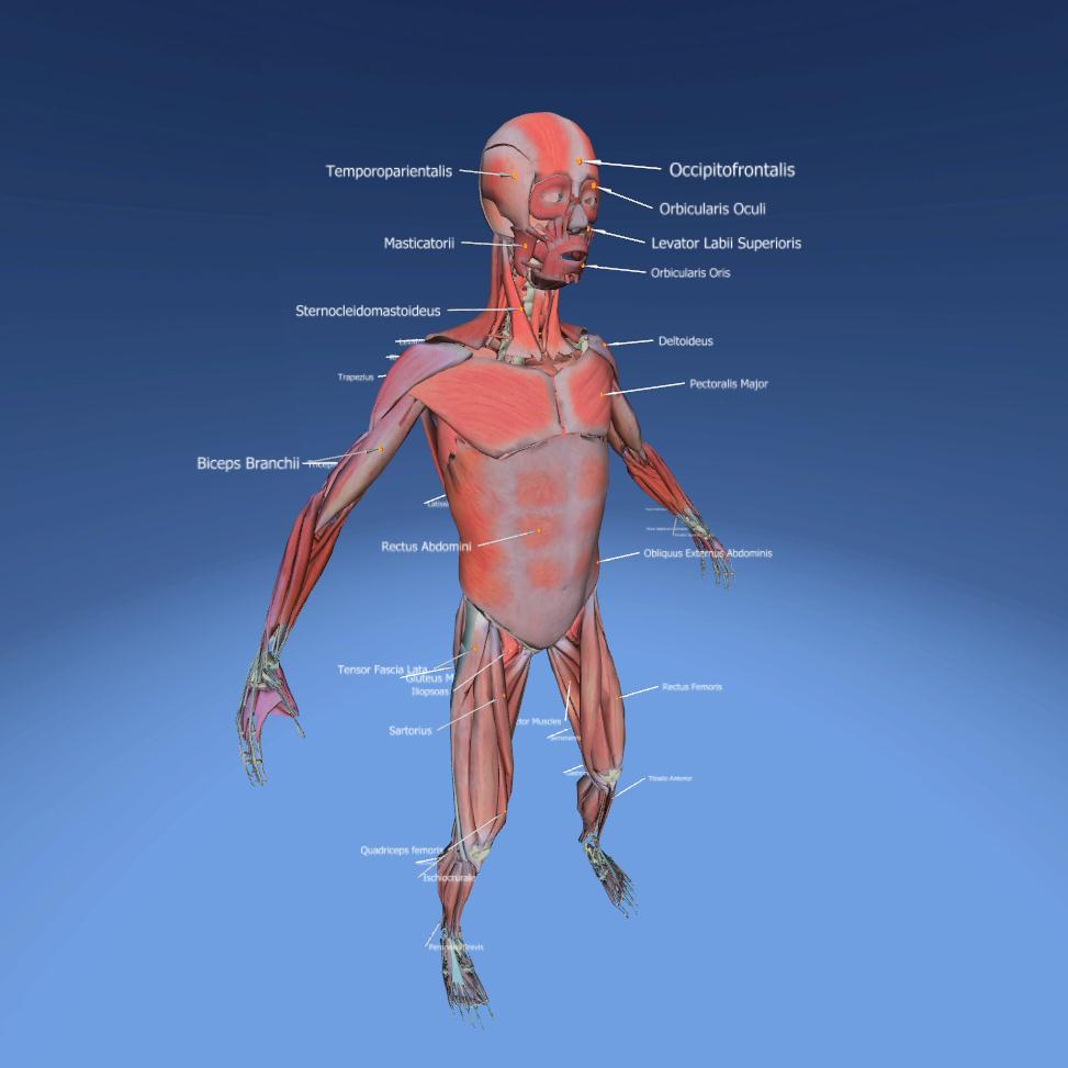 Muscular System Anatomy Interactive 3d Lesson Eonexperience