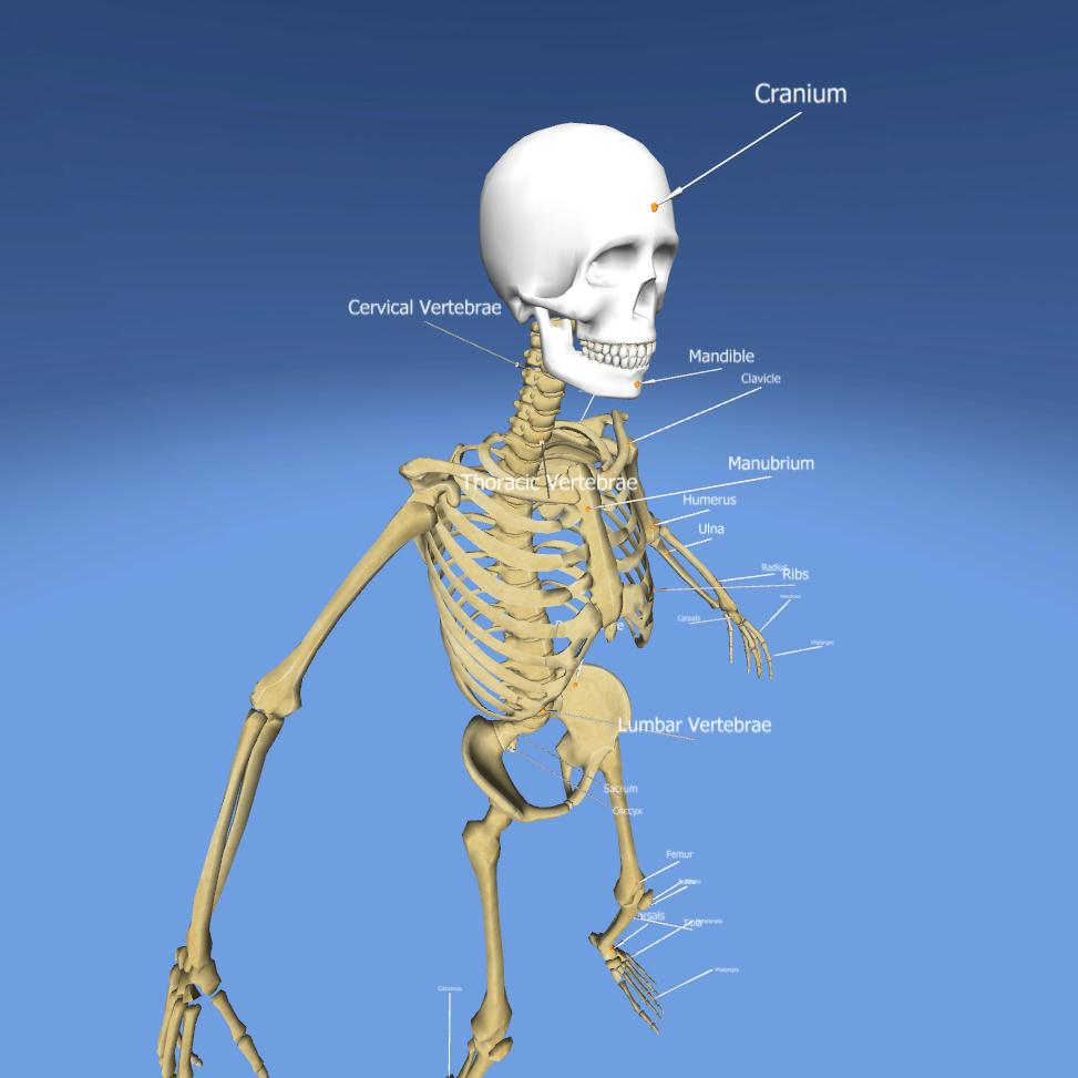 Skeletal System | Anatomy | 3D Lesson | eonexperience