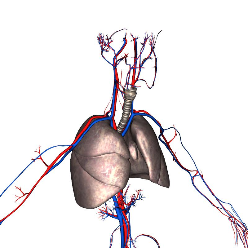 Cardiovascular System Organs Anatomy 3d Model Eonexperience