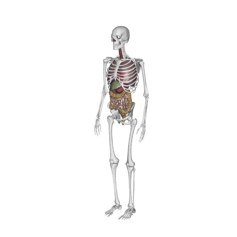 mskeleton  u0026 organ