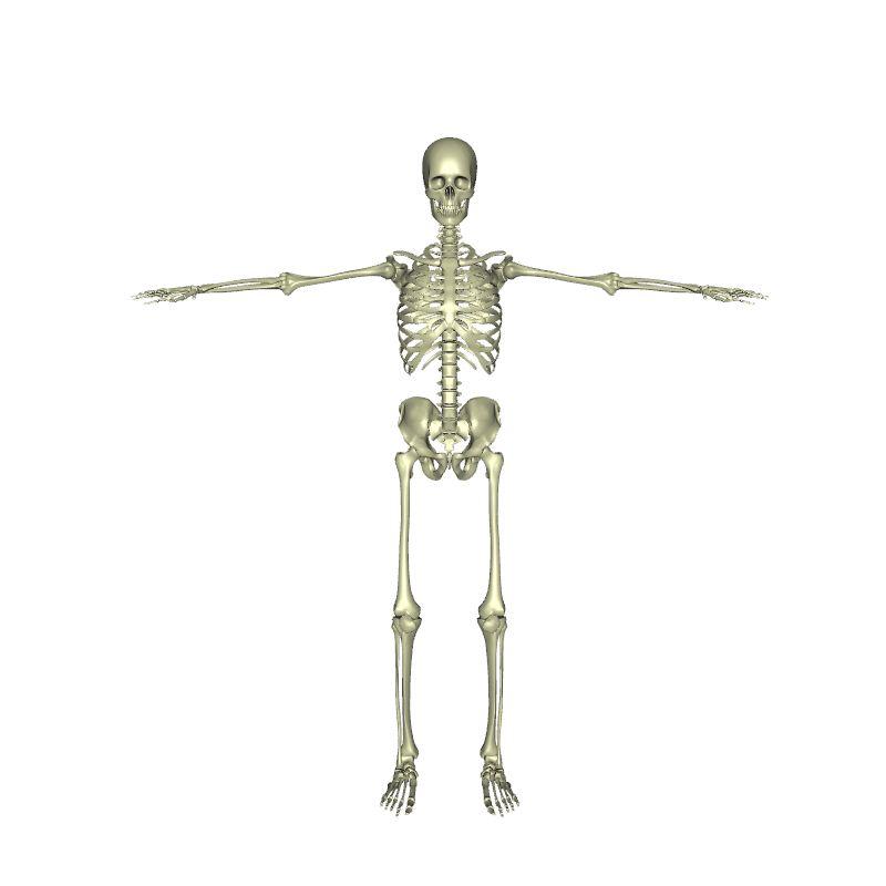 T-Pose Skeleton | Human Body | Anatomy | 3D model